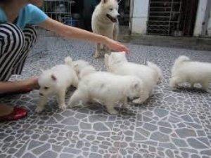 Chó Samoyed thuần chủng
