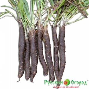 Hạt giống Carrot đen