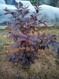 Chuyên cung cấp giống cây Ổi tím (Ổi tím Malaysia)