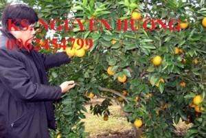 Chuyên cung cấp giống cam cara ruột đỏ không hạt