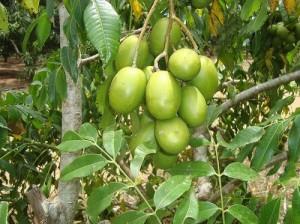 Chuyên cung cấp giống cây cóc thái