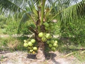 Chuyên cung cấp giống cây dừa xiêm
