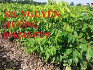 Chuyên cung cấp cây giống nhãn muộn