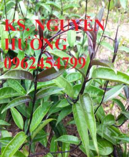 Chuyên cung cấp cây giống BA KÍCH TÍM