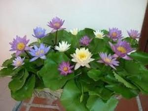 Hạt giống sen mini Nhật có được nhiều màu khoảng 10 màu