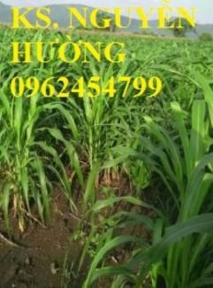 Chuyên cung cấp giống cỏ SWEET JUMBO