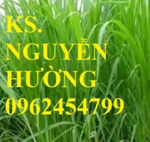 Chuyên cung cấp giống cỏ Sudan