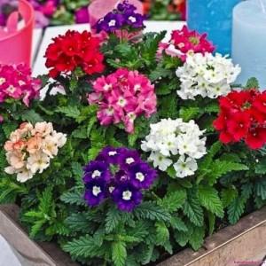 Hạt giống hoa Vân Anh (cúc Lá Nho)