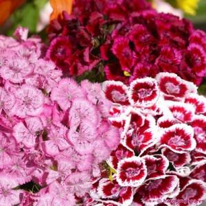 Hạt giống hoa Cẩm Chướng kép Lùn