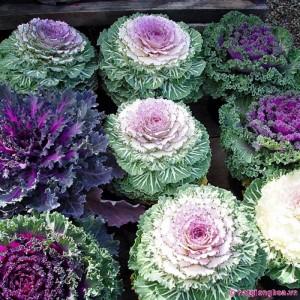 Hạt giống hoa Bắp cải Cảnh Nhăn Mix
