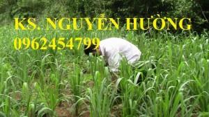 Chuyên cung cấp giống cỏ GHINÊ