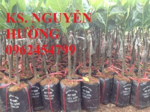 Chuyên cung cấp giống cây mít thái ruột đỏ, mít thái changai, mít thái không hạt, mít thái siêu sớm, mít nghệ