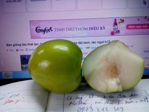 Bán giống táo thái lan, táo đại, táo đào vàng