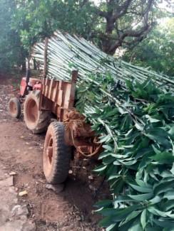 Bán cây gòn làm trụ tiêu giải pháp hiệu quả cho người trồng tiêu