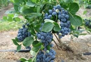 Cây giống việt quất ( blueberry)