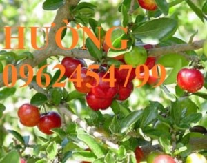 Chuyên cung cấp cây giống sơ ri