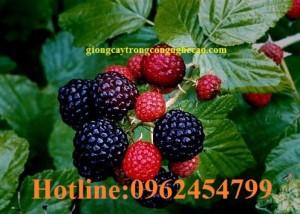 Chuyên cung cấp cây giống và hạt giống Mâm xôi hay đùm đũm, phúc bồn tử