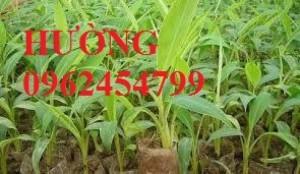 Chuyên cung cấp giống chuối tây thái lan chất lượng cao