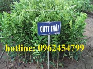 Chuyên cung cấp giống cây quýt đường thái lan chất lượng cao