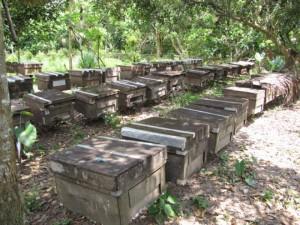 Trai ong nuôi 500 đàn