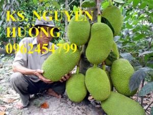 Chuyên cung cấp giống cây mít ruột đỏ, mít thái changai, mít thái không hạt, mít thái siêu sớm, Mít nghệ