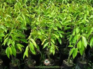 Cây Sầu Riêng Thái