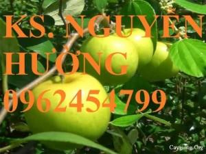 Chuyên cung cấp giống táo thái lan, táo đại, táo đài loan, táo đào vàng