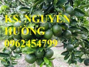 Chuyên cung cấp giống cây cam sành chất lượng cao