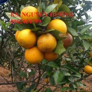 Chuyên cung cấp giống cây cam v2 chất lượng cao