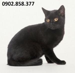Mua cao mèo đen ở đâu chất lượng?