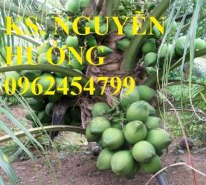 Chuyên cung cấp giống cây dừa xiêm lùn