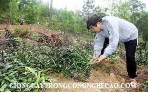 Bán các loại cây dược liệu: Ba kích, Đinh lăng, Cà Gai leo, Hà Thủ ô đỏ, xạ đen, khôi nhung