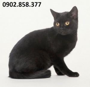 Cao xương mèo đen chữa đau nhức hiệu quả