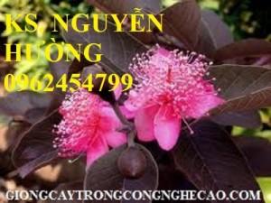 Chuyên cung cấp giống cây ổi tím malaysia