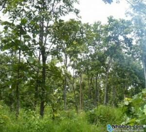 Đất vườn cao su không có nhà .gần sát liền kề rừng cao su và tiêu .