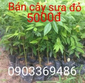 Bán cây sưa giống 5000đ Giao hàng toàn quốc  Lh 0903369486
