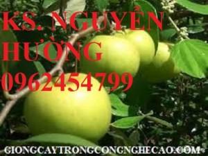Chuyên cung cấp cây giống táo đài loan f1 chuẩn giống