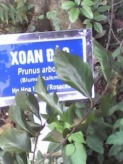 Hạt giống cây xoan đào chính gốc chỉ có tại Tuyên Quang!