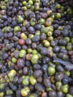 Chuyên bán hạt giống chất lượng xoan đào chính gốc tại Tuyên Quang