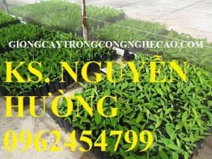 Chuyên cung cấp giống cây chuối tây thái lan nuôi cấy mô chất lượng cao