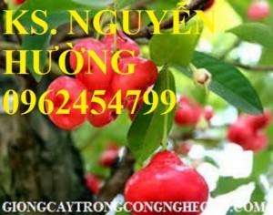 Chuyên cung cấp giống cây roi thái đỏ, roi an phước chuẩn giống