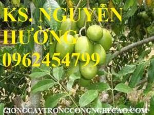Chuyên cung cấp giống cây cóc thái (cóc bao tử) chất lượng cao