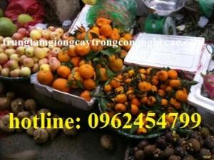Chuyên cung cấp giống cây quýt đường (quýt đường thái lan) chất lượng cao
