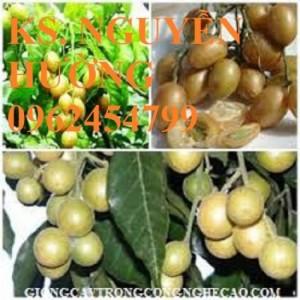 Chuyên cung cấp giống cây quất hồng bì (cây kim quất, nhâm)