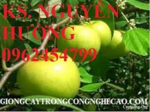 Chuyên cung cấp giống cây táo ngọt h12