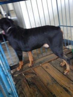Phối giống Rottweiler dòng đại chó nhập 75kg