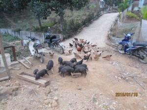 Bán Thịt Lợn Sạch Hòa Bình