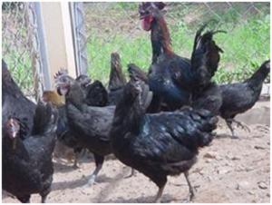 Gà da đen tái, xương đen, thịt đen, có nguồn gốc từ vùng đồng bào dân tộc miền núi Tây Bắc (Sơn La, Yên Bái, Lai Châu, Lào Cai, Hà Giang,...) được Viện Chăn nuôi Quốc gia phát hiện,