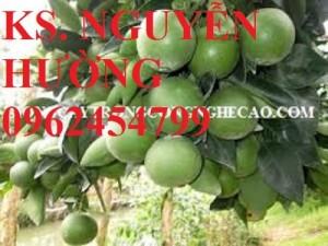 Chuyên cung cấp giống cây cam xoàn chất lượng cao