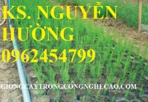 Chuyên cung cấp cây giống và hạt giống măng tây xanh đảm bảo chất lượng